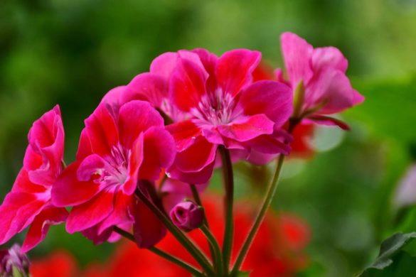 gerani parigini - gerani parigini fiori