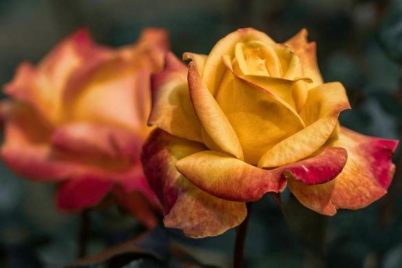 trapiantare rosa - quando trapiantare le rose