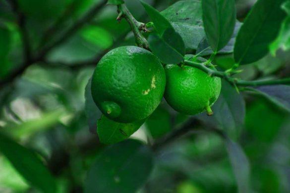 cocciniglie del limone