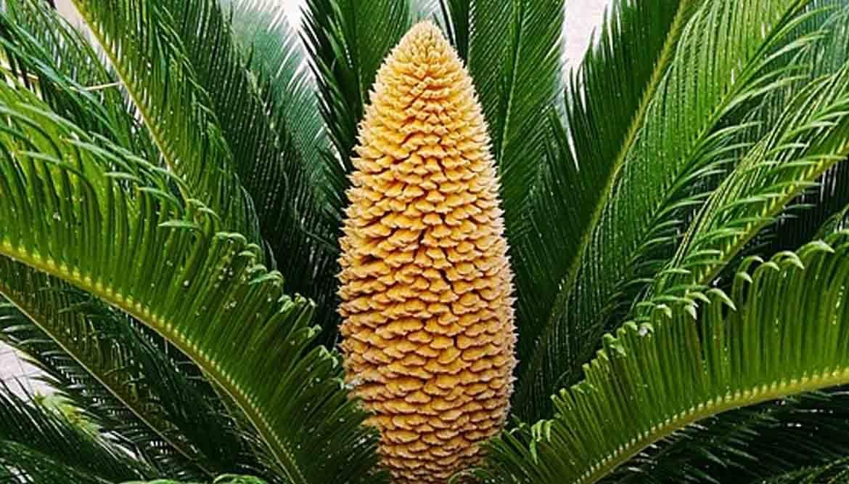 palma nana - cycas