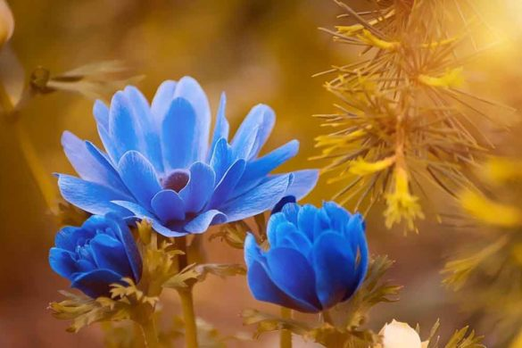 Anemoni fiore - Anemone