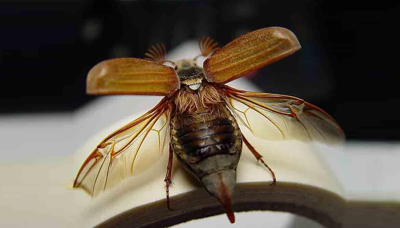maggiolino insetto parassita