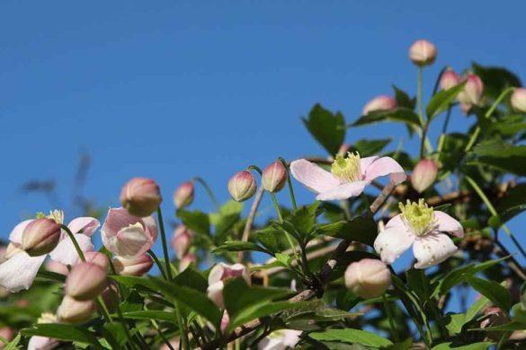 pergolato giardino - clematide