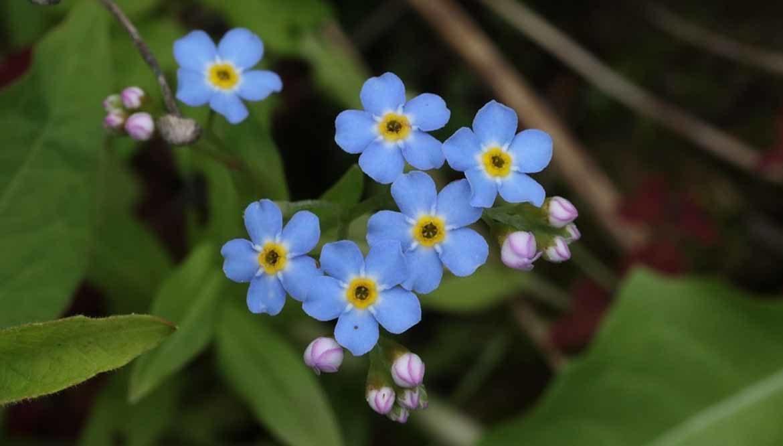 Non ti scordar di me fiore simbolo dell'amore eterno