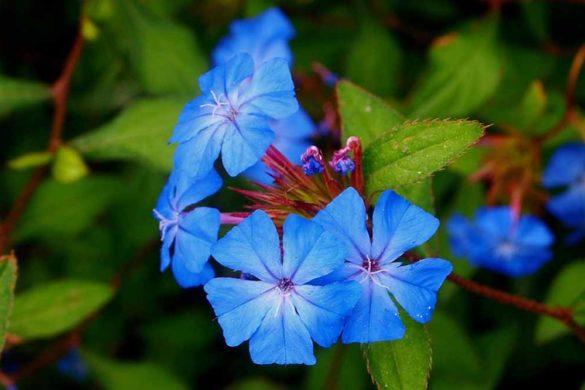 pervinca - pervinche fiori