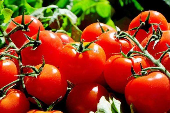 coltivare pomodori - pomodori