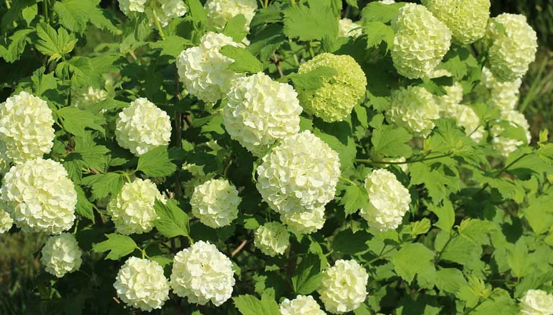 Pianta Sempreverde Con Fiori Bianchi.Il Viburno Ideale Per Una Siepe Sempreverde A Bassa Manutenzione
