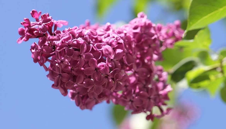 fiorellini lilla