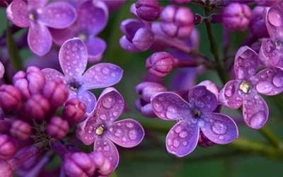 lillà fiore