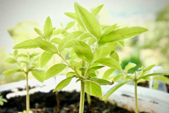 citronella pianta