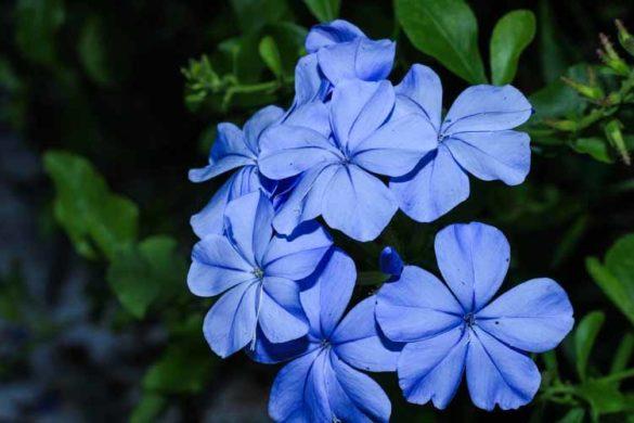 fiorellini blu
