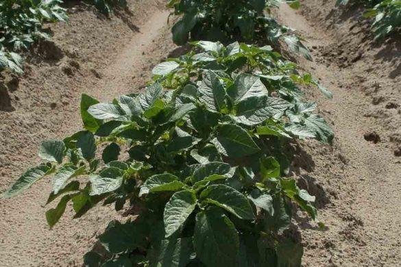 Coltivazioni patate