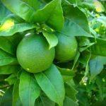 lime Sicilia