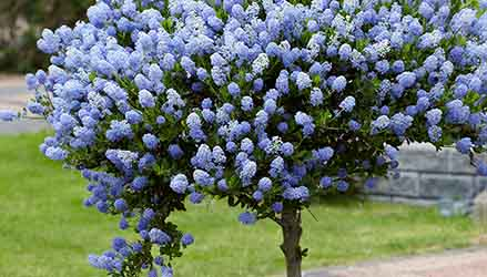 CeCeaanothus-alberi-da-giardino