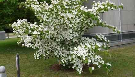 Cornus-Kousa-alberi-da-giardino