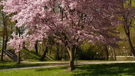 Prunus-alberi-da-giardino