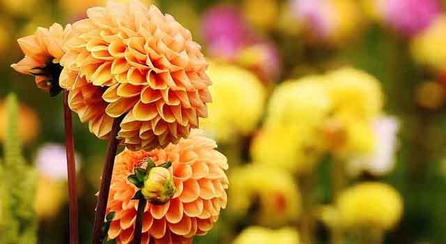 dalia - fiorellini arancioni