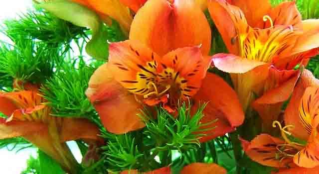 fresia - fiorellini arancioni