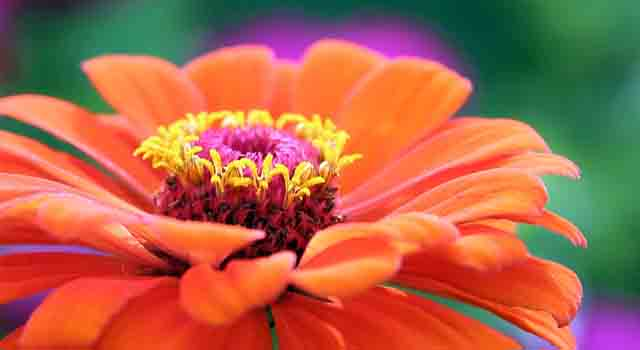 gerbera - fiorellini arancioni