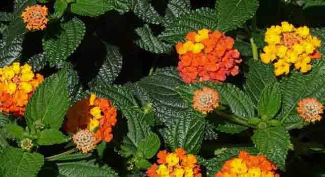 lantana - fiorellini arancioni