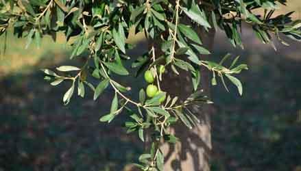 olivo - alberi da giardino