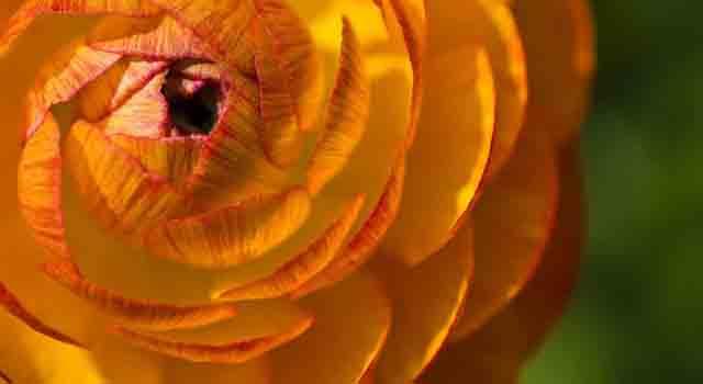 ranuncolo - fiorellini arancioni