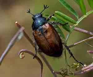 scarafaggi - Insetti striscianti
