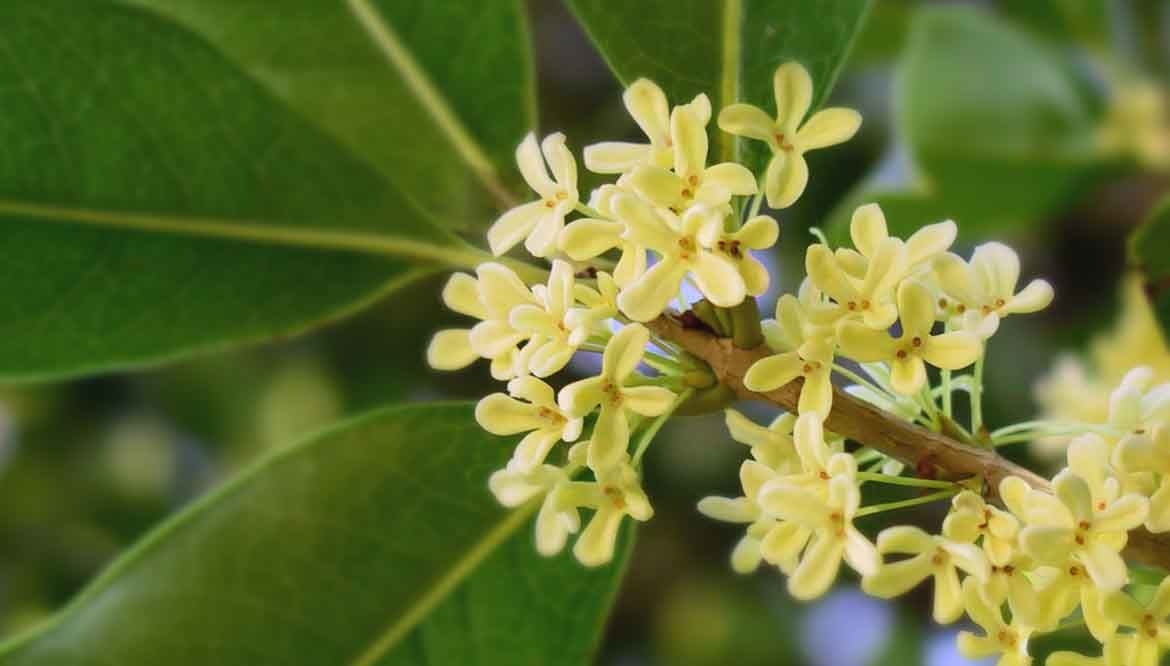 olea fragrans - osmanthus