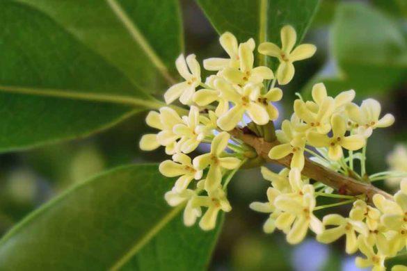 olea fragrans - osmanthus
