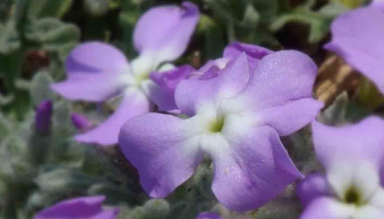 violaciocca - violaciocca fiore