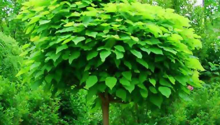 catambra pianta antizanzara