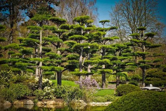 cedri alberi sempreverdi