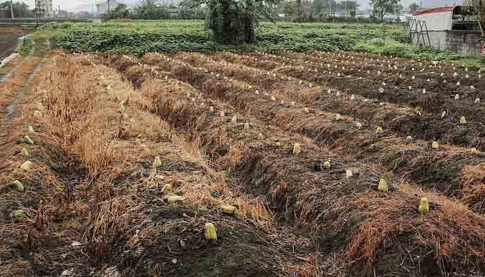 zucchina spinosa coltivazione