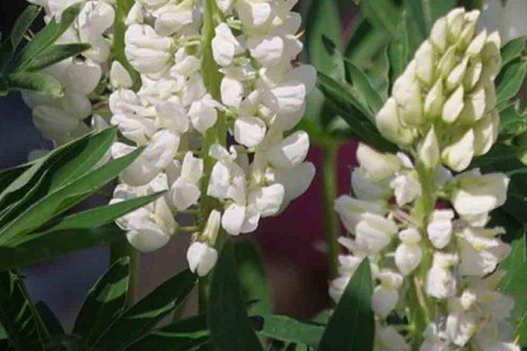 lupino pianta - legume