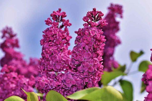 serenella fiore o lillà