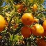 chinotto pianta - Citrus myrtifolia