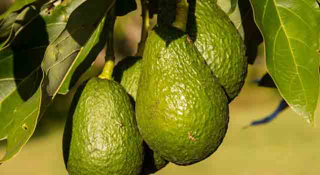 avocado frutti esotici