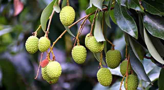 litchi frutti esotici