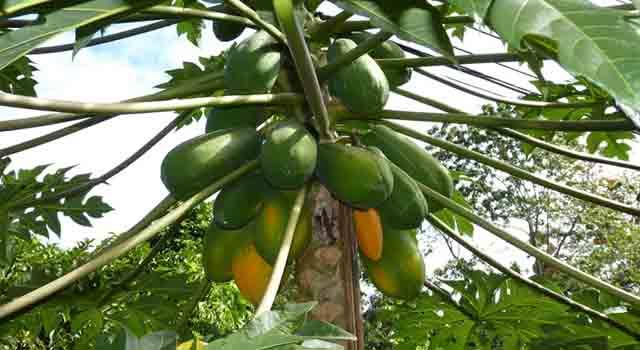 papaya frutti esotici