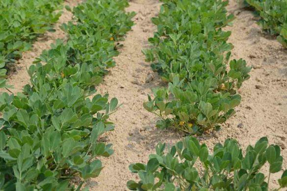 arachidi pianta