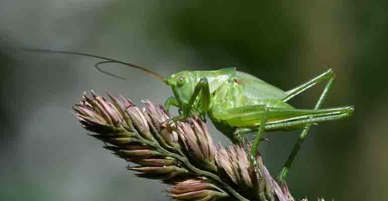 cavalletta verde