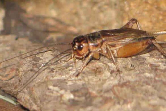 grillo insetto dalla dolce melodia