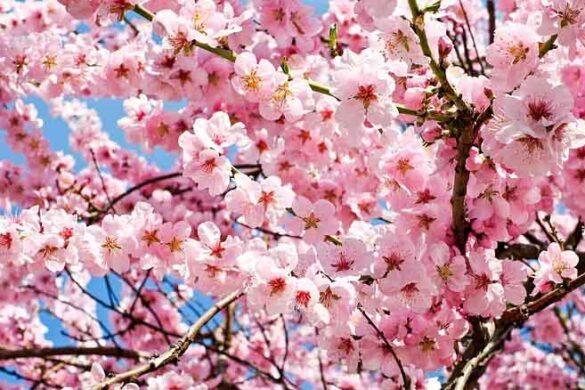 ciliegio giapponese e la sua coltivazione
