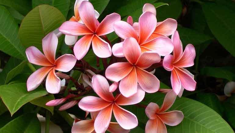 Frangipane: il fiore dell'amore