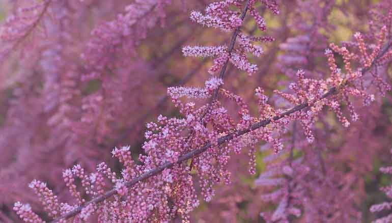 Tamerici: piante ornamentali dal profumo delicato