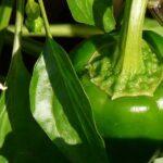 Piantine di peperone: come coltivare questo ortaggio succulento